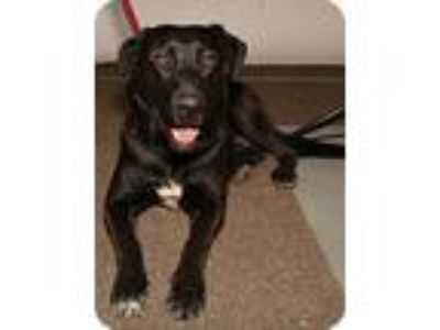 Adopt Bo a Black - with White Labrador Retriever / Mixed dog in Nuevo
