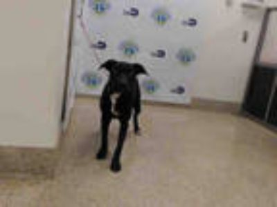 Adopt CLARE a Black Labrador Retriever / Mixed dog in Doral, FL (25291524)