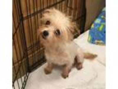Adopt Star a Yorkshire Terrier