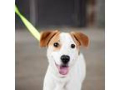Adopt Chickie a White Beagle / Mixed dog in Richmond, VA (22345207)