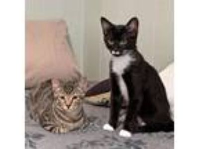 Adopt Cookie and Whistle a Brown or Chocolate American Shorthair / Mixed (short