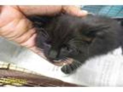 Adopt MITTENS a Black (Mostly) Domestic Shorthair / Mixed (short coat) cat in