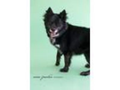 Adopt Dice a Border Collie, Chow Chow