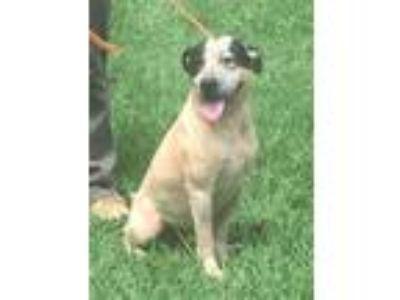 Adopt Tux a Australian Cattle Dog / Blue Heeler