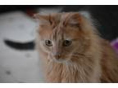 Adopt Ellie a Orange or Red Tabby Domestic Longhair (long coat) cat in Pine
