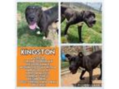 Adopt Kingston a Black Labrador Retriever / Mixed dog in Irving, TX (25309133)