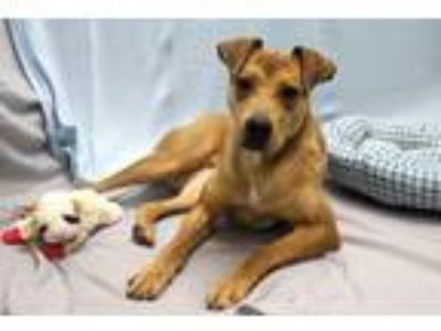Adopt Lydia a Tan/Yellow/Fawn German Shepherd Dog / Pit Bull Terrier / Mixed dog