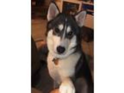 Adopt Slater a Black - with White Siberian Husky / Mixed dog in Winter Springs
