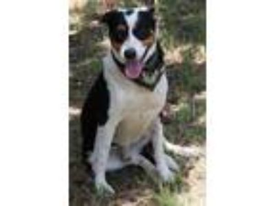 Adopt Robby a Bernese Mountain Dog, Labrador Retriever