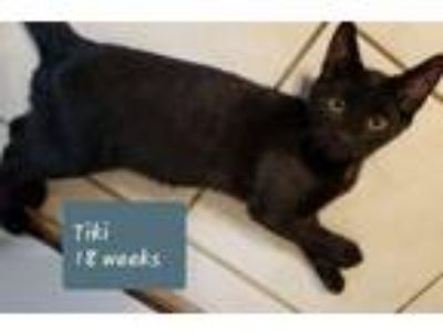 Adopt Ticki a Domestic Short Hair