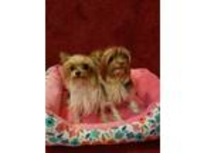 Adopt Sofia and Grace - Bonded Pair a Yorkshire Terrier, Shih Tzu