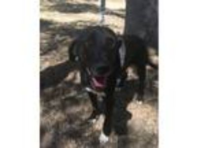 Adopt Sanka a Labrador Retriever, German Shorthaired Pointer