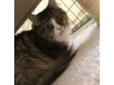 Adopt Scaredy Cat a Domestic Long Hair