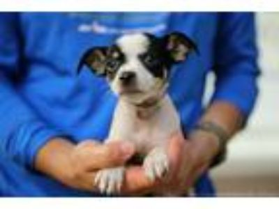 Adopt Boomer a Tricolor (Tan/Brown & Black & White) Rat Terrier / Mixed dog in