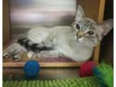Adopt ASTER - SWEET LYNX POINT a Cream or Ivory (Mostly) Siamese (short coat)