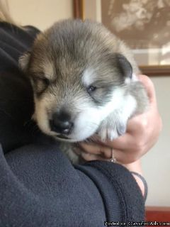 Alaskan Malamute Puppies Only 1 Female Left