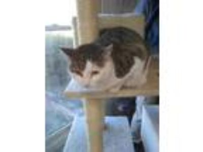 Adopt SHEBA a White Domestic Shorthair / Domestic Shorthair / Mixed cat in