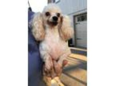 Adopt Adele a White Poodle (Miniature) / Mixed dog in Temecula, CA (24784030)