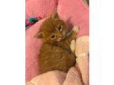 Adopt Carmelo Clark a Orange or Red Domestic Shorthair / Mixed cat in Allen