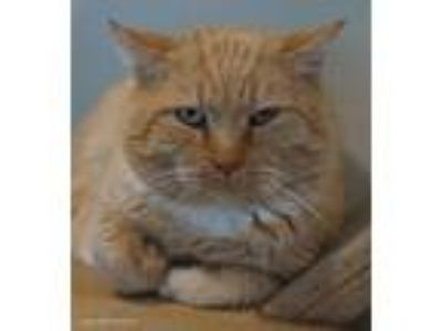 Adopt Griswold a Orange or Red (Mostly) Domestic Shorthair / Mixed (short coat)