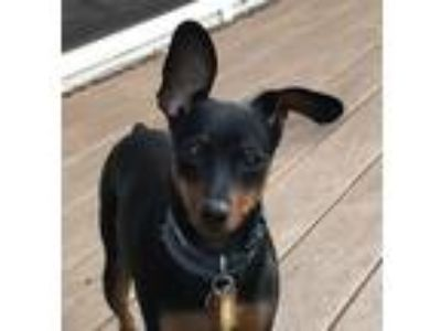Adopt Ginny a Black - with Tan, Yellow or Fawn Miniature Pinscher / Mixed dog in
