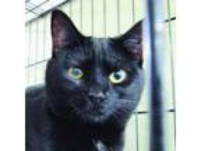 Adopt June a All Black Domestic Shorthair / Mixed (short coat) cat in Albemarle