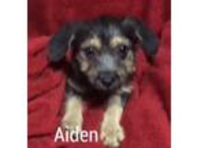 Adopt Aidena V31 a Yorkshire Terrier, Terrier
