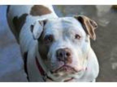 Adopt Dreamer a American Pit Bull Terrier / Mixed dog in San Diego