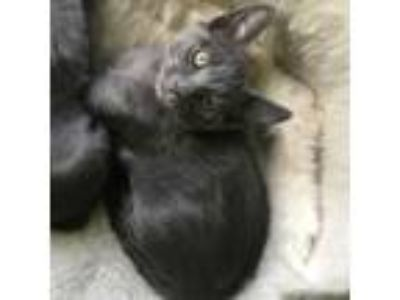 Adopt Tails a Russian Blue