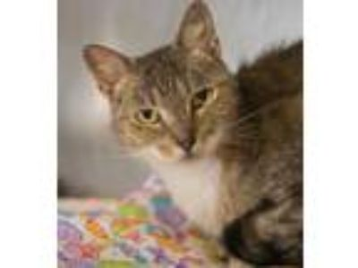 Adopt Lahey a White Domestic Shorthair / Domestic Shorthair / Mixed cat in