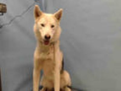 Adopt POSSUM a White - with Gray or Silver Husky / Mixed dog in Gardena