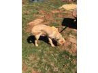 Adopt Gunner a Tan/Yellow/Fawn - with Black Labrador Retriever dog in Bedford