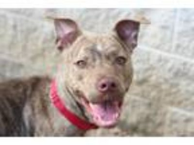 Adopt Howie a Brindle Mixed Breed (Medium) / Mixed dog in Philadelphia