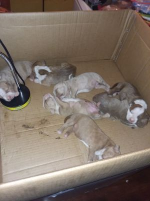 American pitbull terrier puppy's