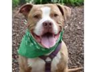 Adopt Tractor a American Staffordshire Terrier