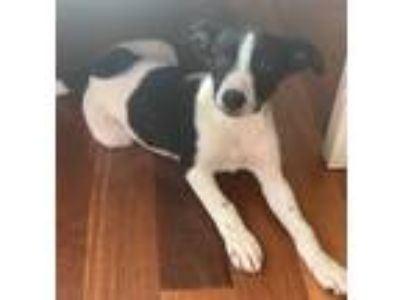 Adopt Winnie a Black - with White Pointer / Labrador Retriever / Mixed dog in