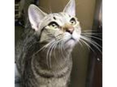 Adopt Dakota a Brown Tabby Domestic Mediumhair / Mixed cat in Garner
