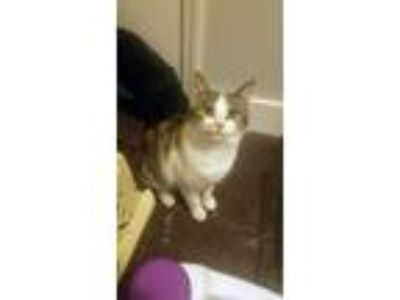 Adopt Lilly Belle a Domestic Short Hair