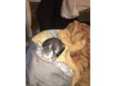 Adopt Aurora a Gray, Blue or Silver Tabby Domestic Shorthair / Mixed (short