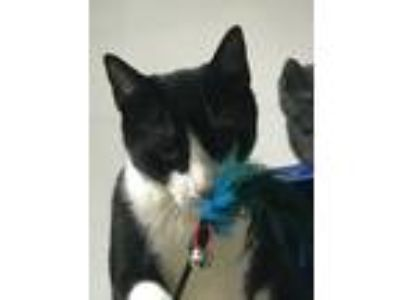 Adopt Batman a Black & White or Tuxedo American Shorthair (short coat) cat in
