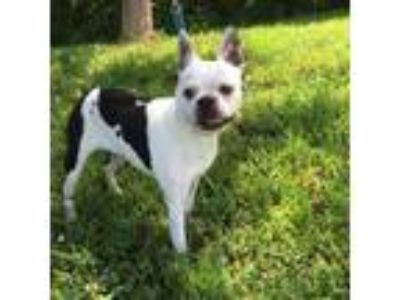 Adopt Isabelle a Boston Terrier