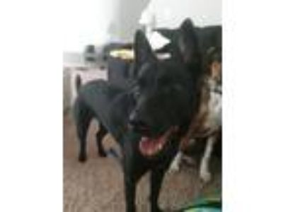 Adopt Muttlock a German Shepherd Dog