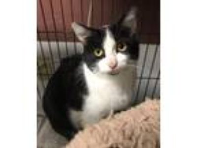 Adopt Darby a Domestic Short Hair
