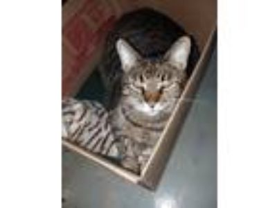 Adopt Jipson a Brown Tabby American Shorthair cat in Alabaster, AL (24431948)