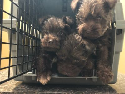 Schnauzer (Miniature) PUPPY FOR SALE ADN-113908 - Miniature Schnauzer Puppies