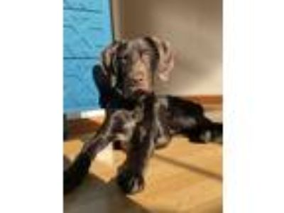 Adopt Cafecito a Brown/Chocolate German Shorthaired Pointer / Mixed dog in Los