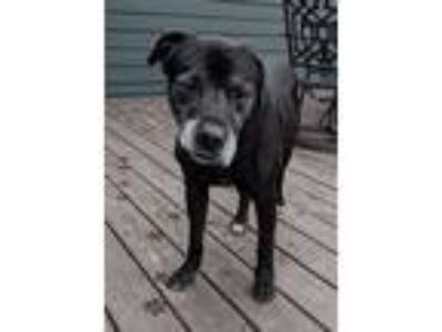 Adopt Bernie- Foster to Adopt a Brown/Chocolate - with Black Rottweiler /