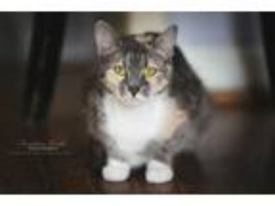 Adopt Izzie a Calico / Mixed (short coat) cat in Hoover, AL (24767528)