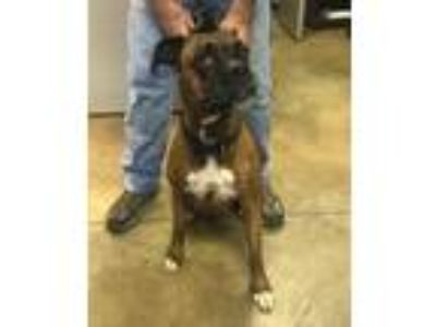 Adopt 42226938 a Brindle Boxer / Mixed dog in Cleveland, AL (25884761)