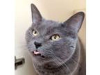 Adopt Gooney a Domestic Short Hair